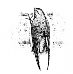 chimney-swift_magic_broom_waldorf_md